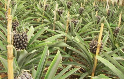 Ananás Açoreano