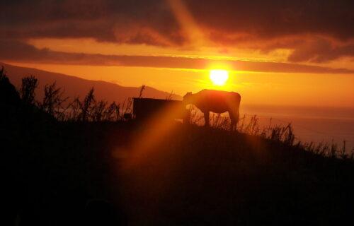 Pôr do Sol – Vaca leiteira
