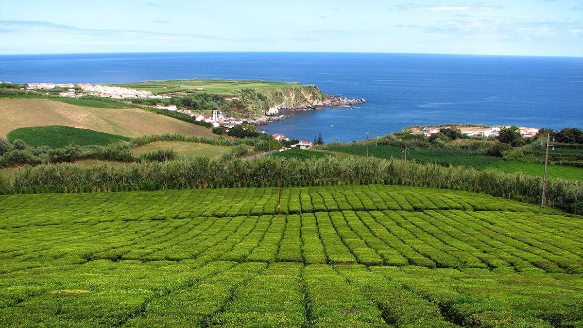 Plantação de Chá Porto Formoso – São Miguel