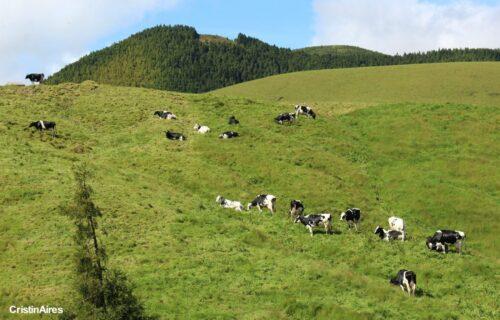 À solta – Vacas felizes