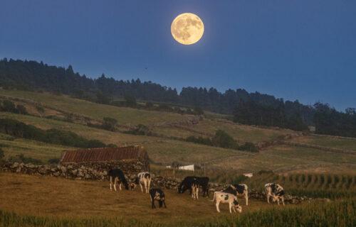 Nascer da Lua para as vaquinhas