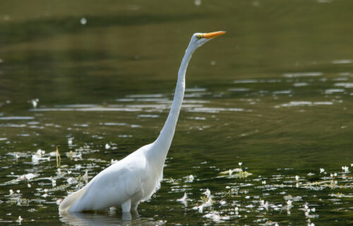 Garça-branca-grande Egretta alba *