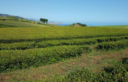 Chá da Gorreana