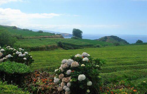 Plantação de Chá Gorreana
