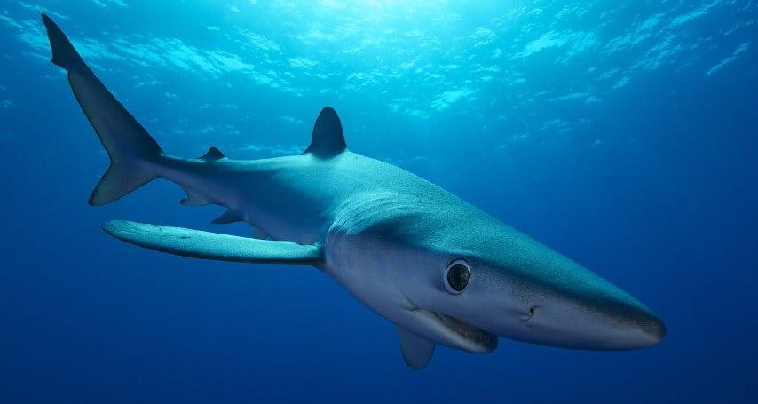 Nadar com tubarões, Pico - Azores