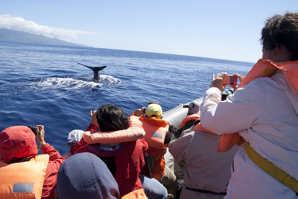 Whale Watching, Pico - Açores