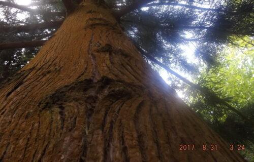 Um pinho gigante bonito