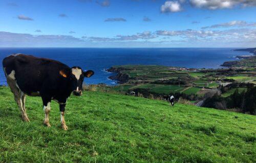 Vacas em Porto Formoso