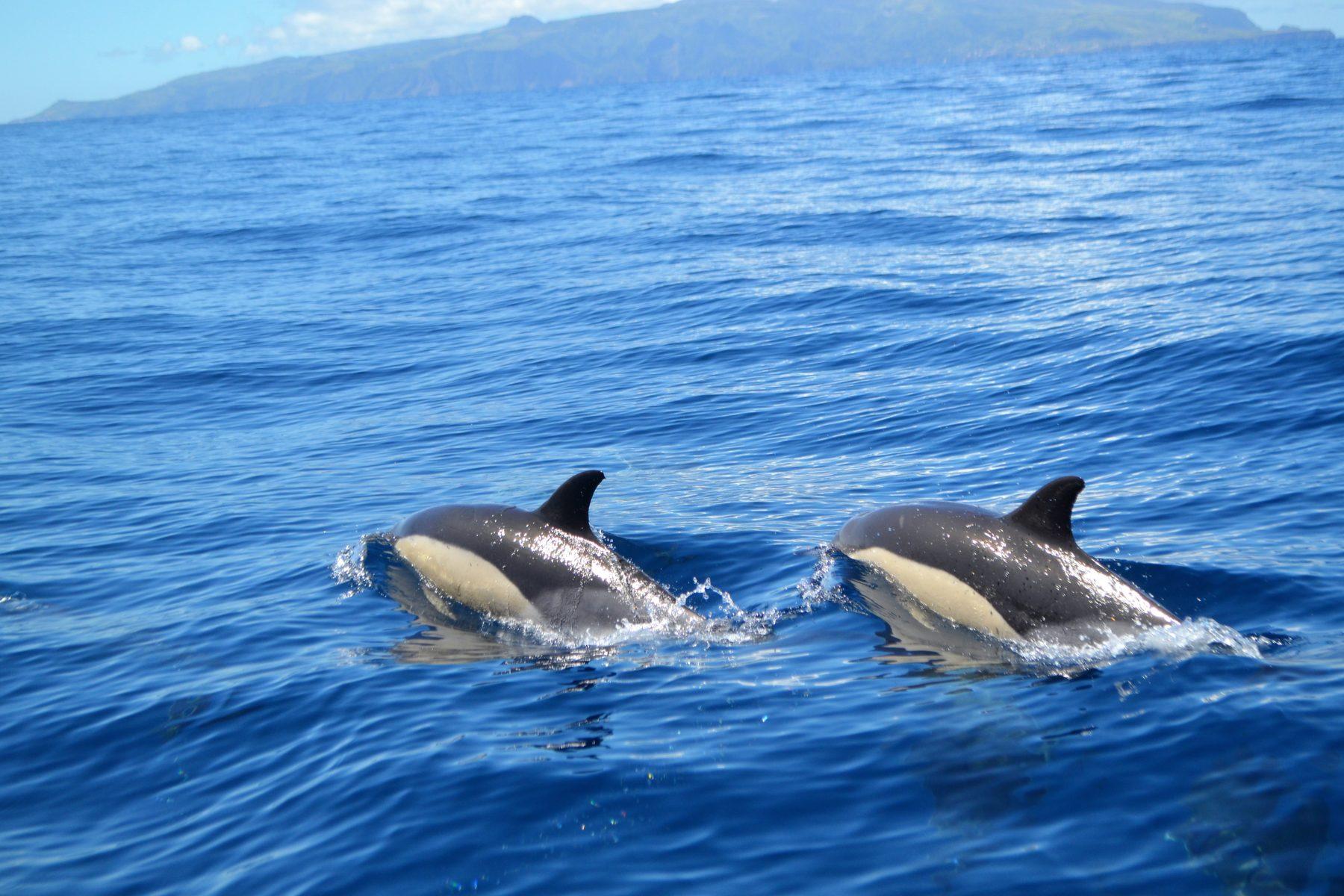 Corvo: simpáticos golfinhos no azul do Atlântico