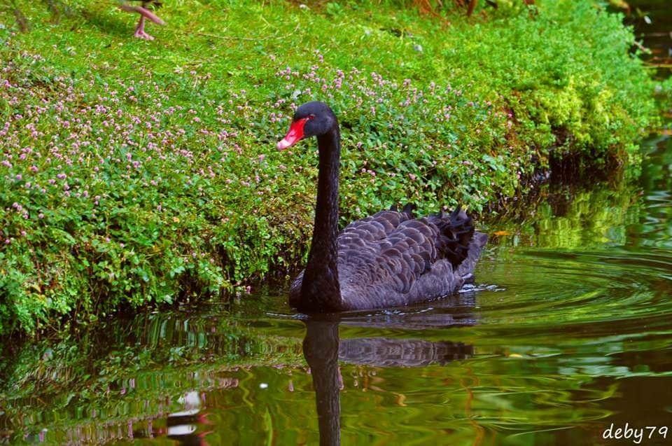 Lago do Cisne – Parque Terra Nostra