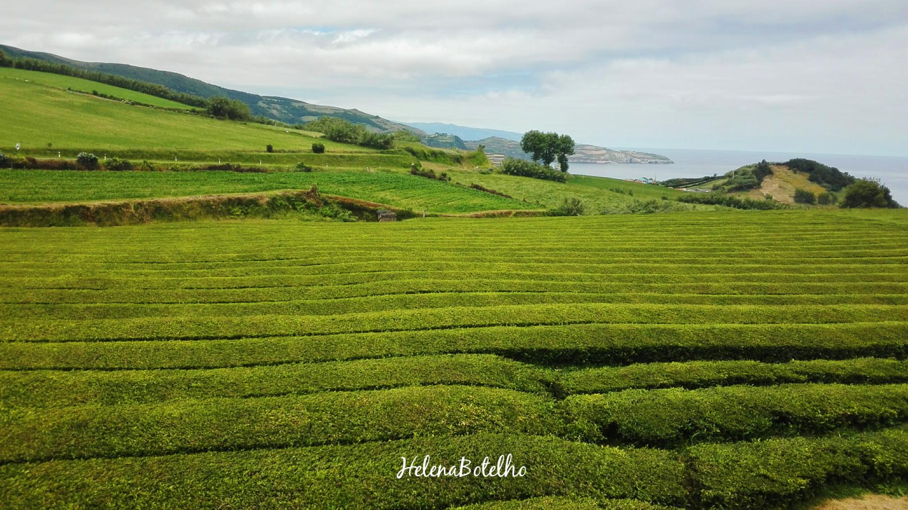 Gorreana – Plantação de chá