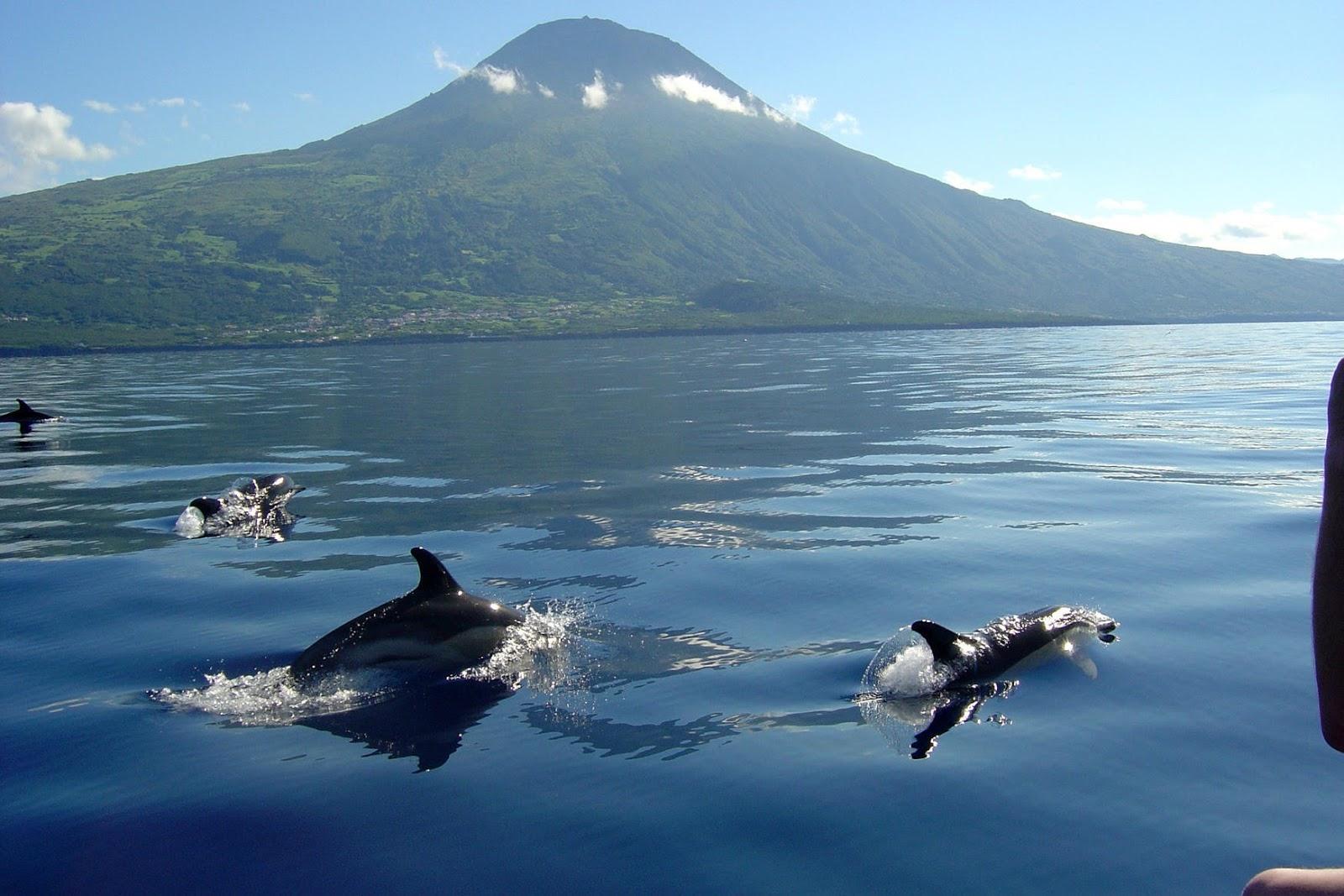 Observação de Golfinhos e Cetáceos na Ilha do Pico - Açores