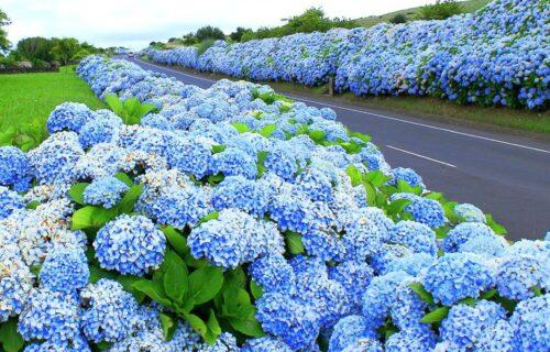 Hortênsias nos Açores