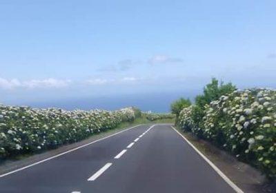 Hortênsias Açores - Galeria de fotos - Amantes dos Açores - byaçores