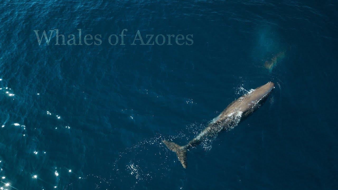 Baleias e Golfinhos em vista aérea ao largo da Ilha de São Miguel