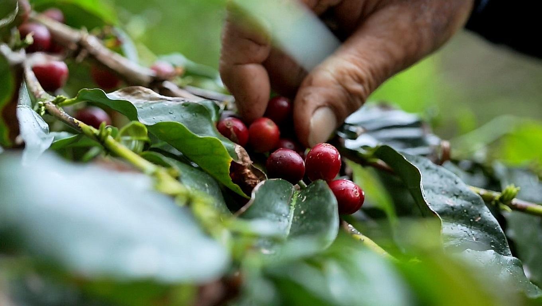 Plantação de Café - Açores