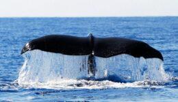 Observação de Cetáceos (golfinhos e baleias) nos Açores