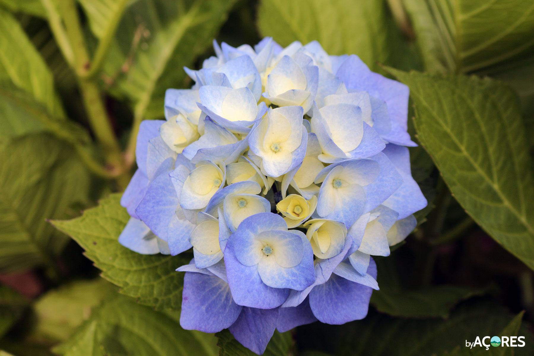 Hortênsia a florir
