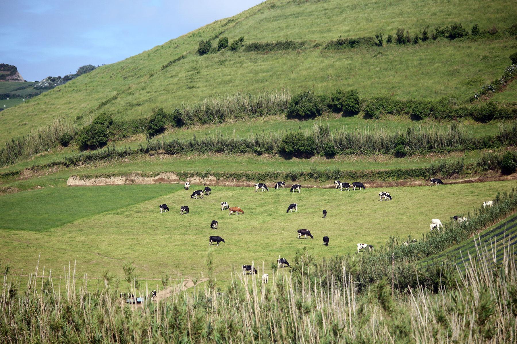 Vacas dos Açores – Miradouro da Ponta do Escalvado