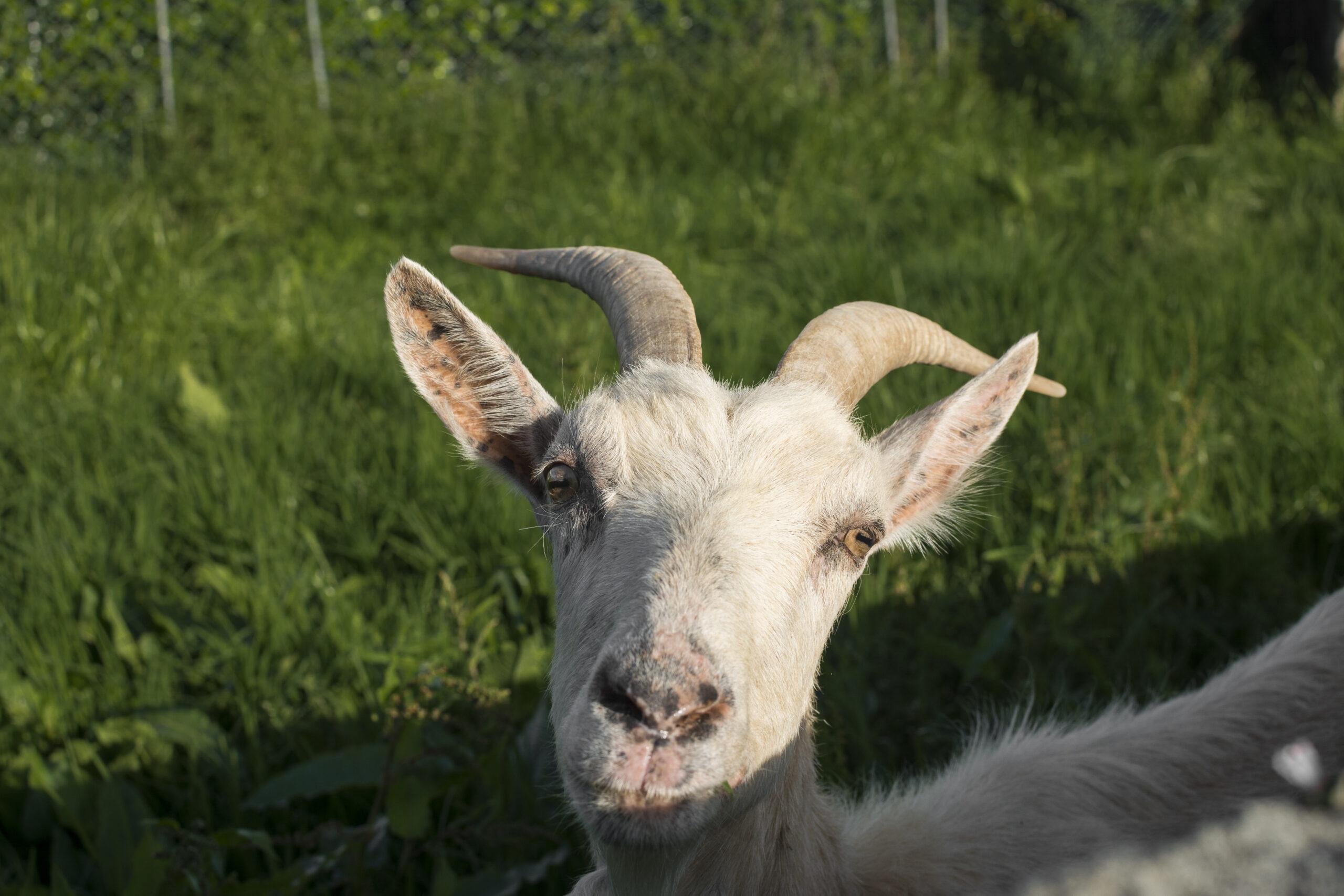 """""""Hi, I'm goat, you?"""""""