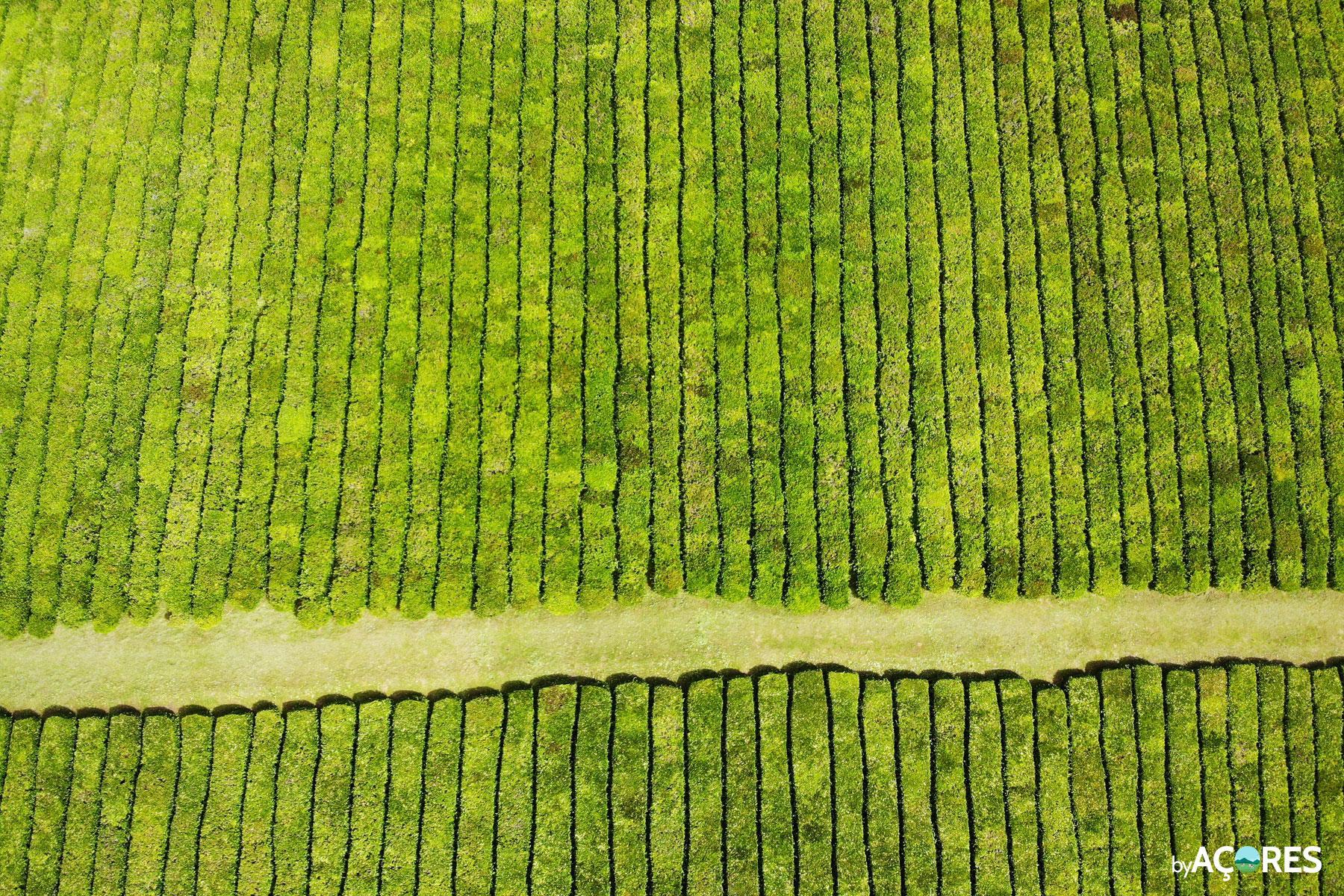 Plantação de Chá Porto Formoso vista do céu