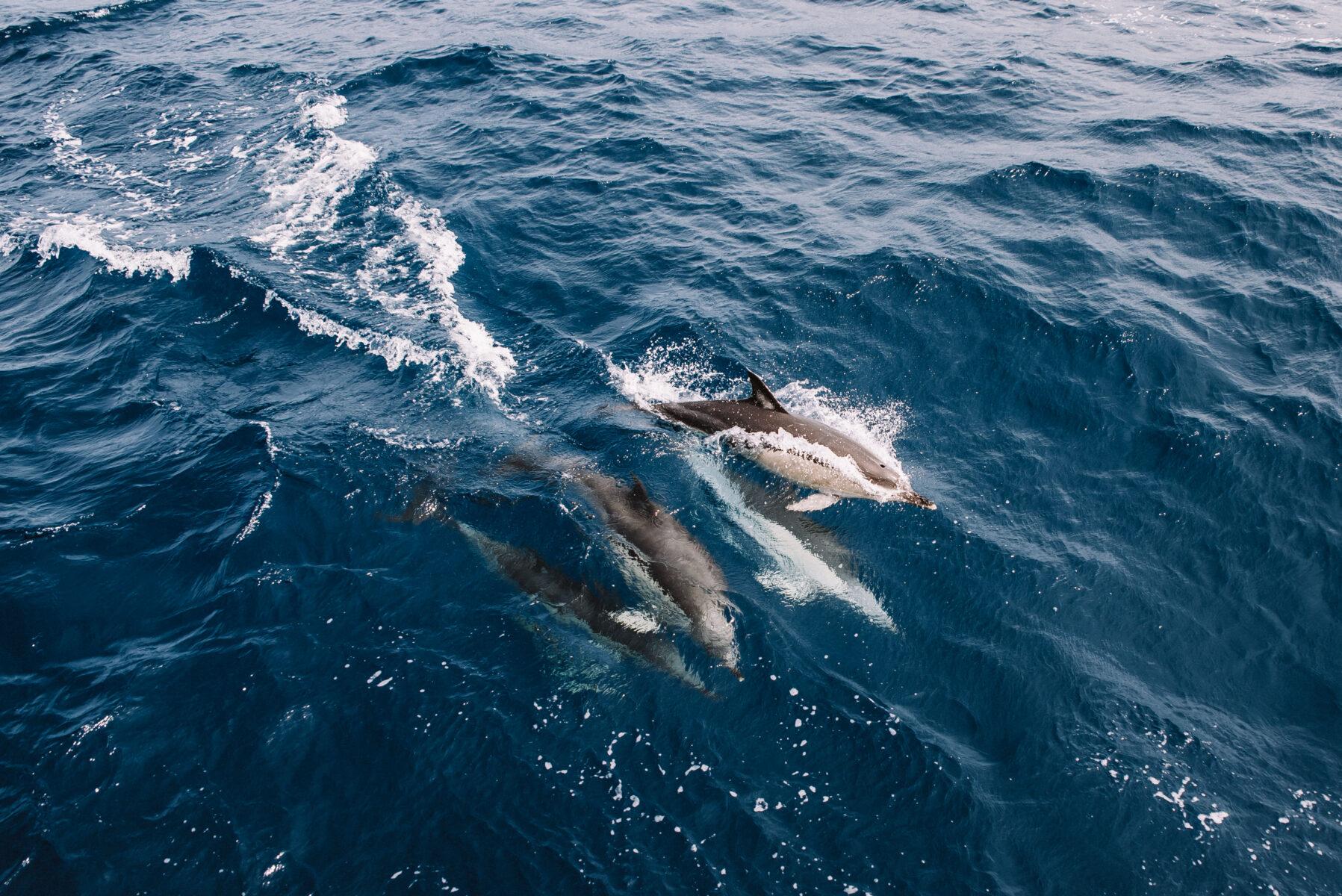 Golfinhos – Observação de Cetáceos
