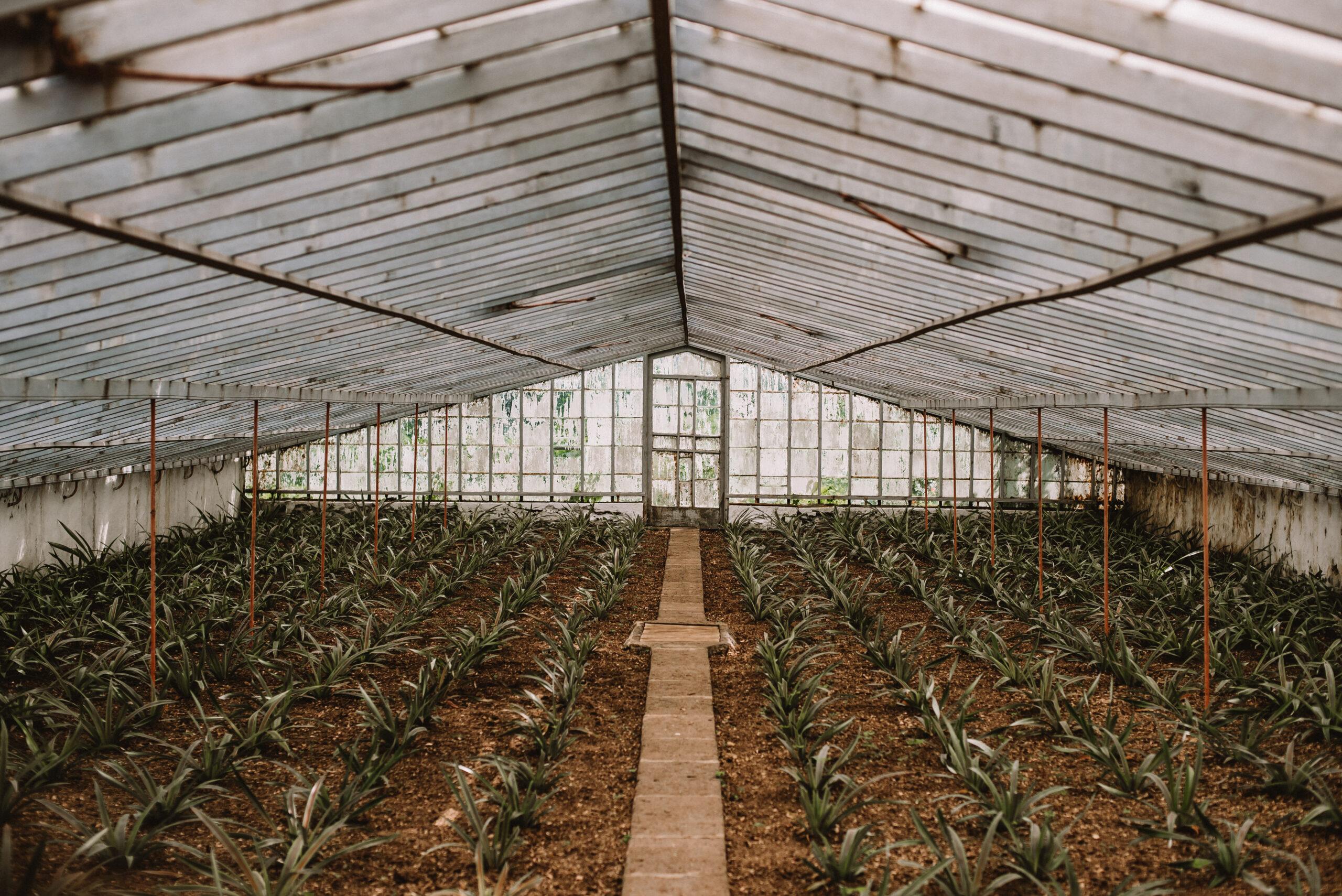 Plantação de Ananás – São Miguel