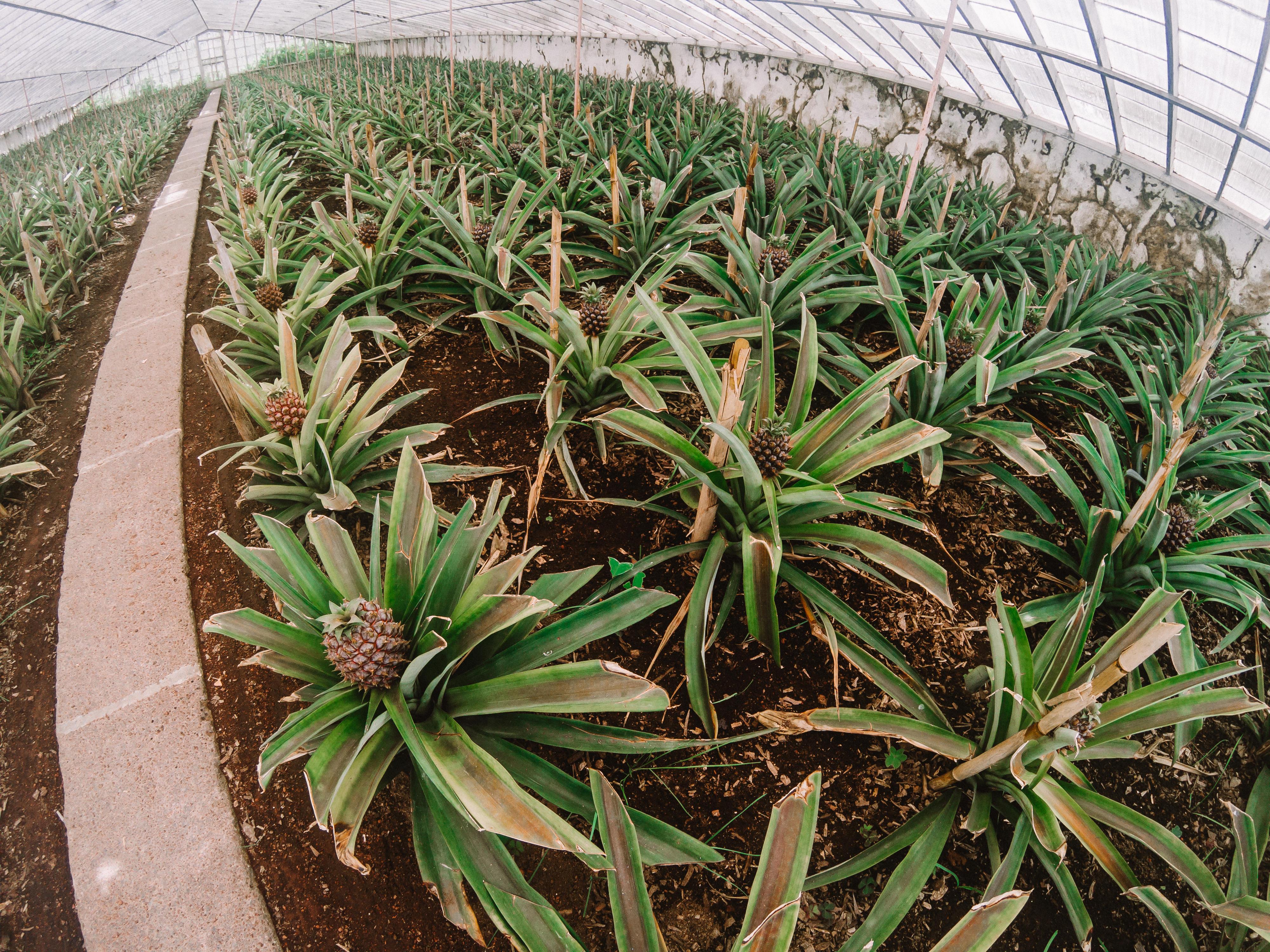 Plantação de Ananases – São Miguel III
