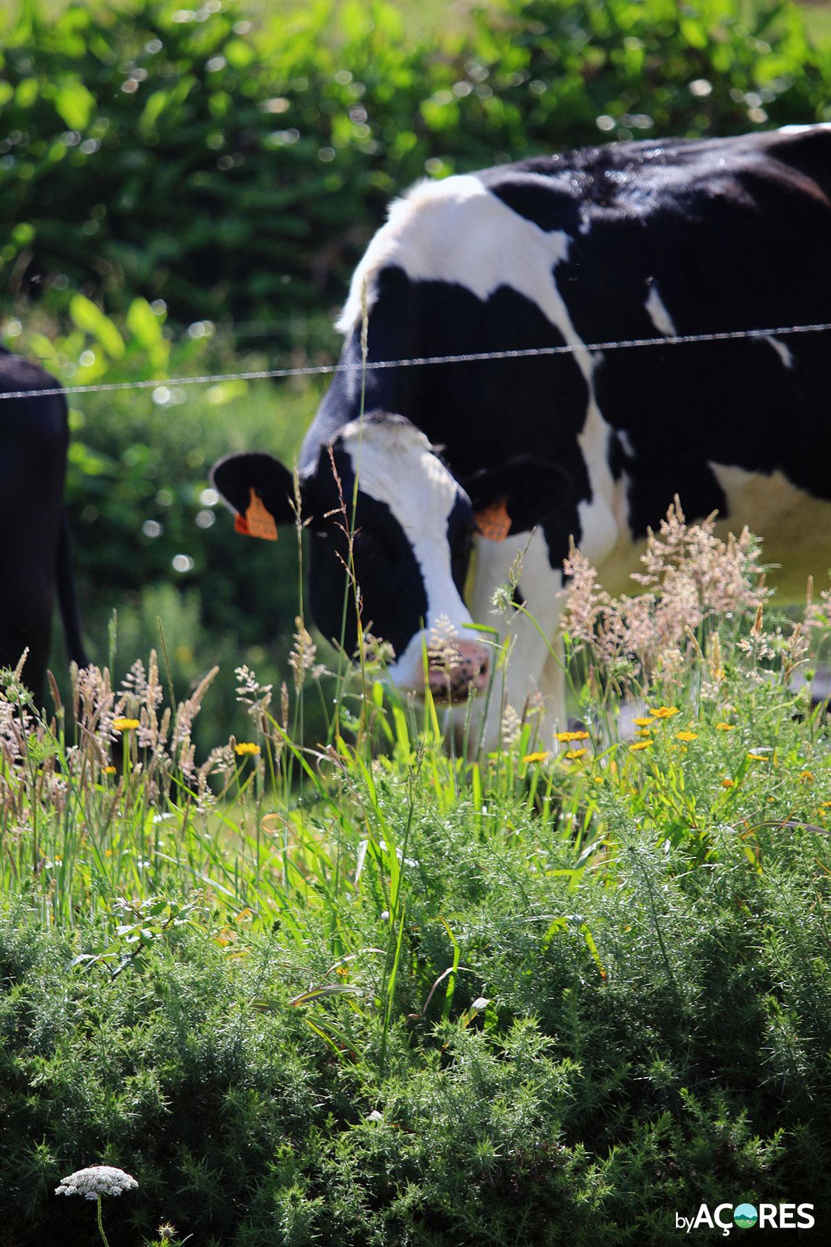 Vacas – São Miguel