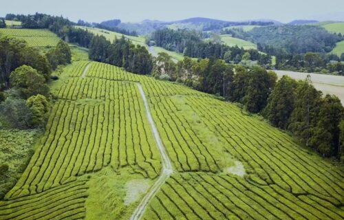 Magníficas imagens aéreas da Plantação de Chá Gorreana, São Miguel